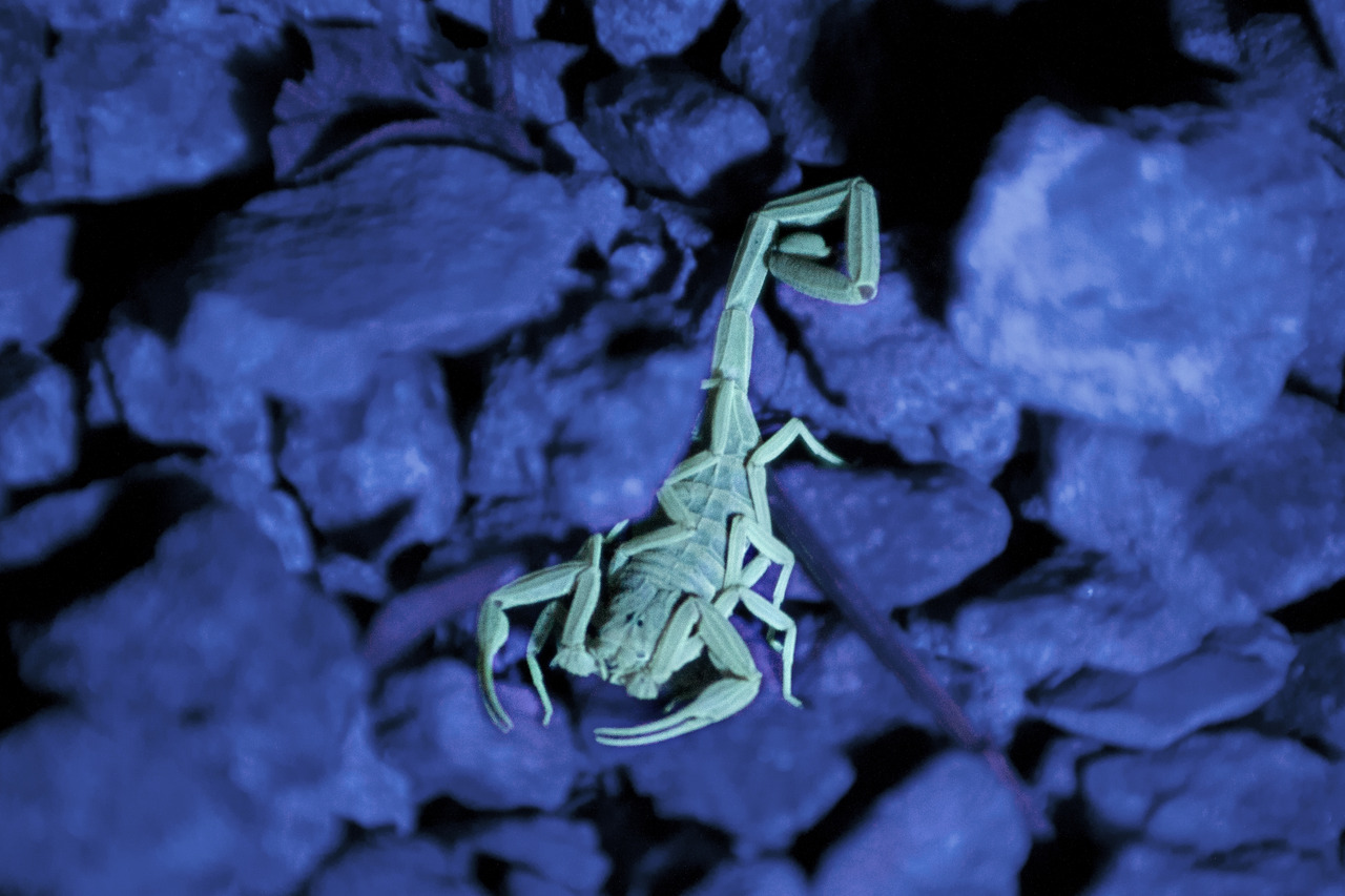 Scorpion under a black light.