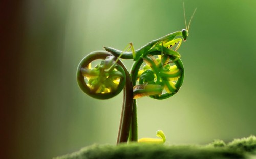 A praying mantis appears to be pedalling a bicycle in this amusing photo taken by amateur photographer, Eco Suparman, a university student from Borneo, Indonesia. He came across the mantis on a fern in a cemetery in the Ambawang River Village. Picture: Eco Suparman / CATERS NEWS