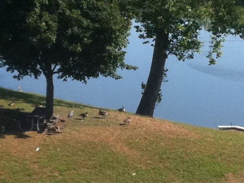 fishingboatproceeds:  The view from my office window. A heron amid the geese. That heron has just been standing there for almost two hours. Imagine staying in the same place, by yourself, just watching. No book or smartphone or iPod or anything. Talk about the sustained paying of attention. All hail the great blue heron!  isn't that a mountain goats album?  all hail the great blue heron?  mountain goats and califone collaboration record, perhaps?  (all hail west texas/king heron blues)