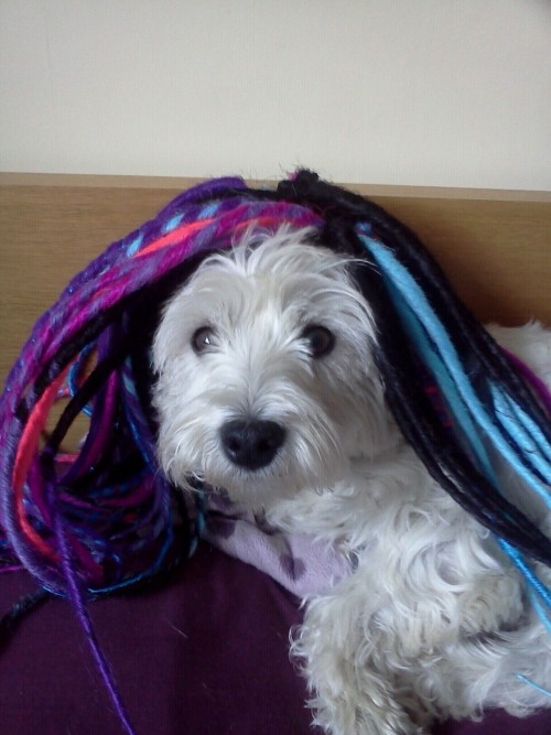 It's Lulu, the dread westie!