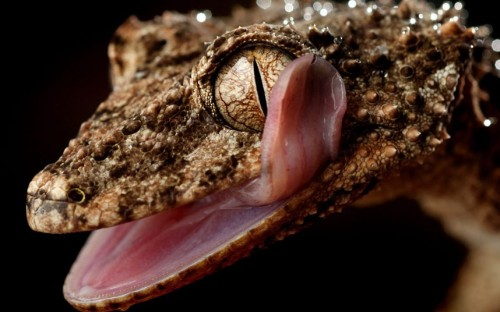 theanimalblog:  A rough-throated leaf-tailed gecko licks its own eye at Wild Action Zoo, Victoria, Australia.  Picture: Bruce Magilton/Newspix / Rex Features  whoa! an eye licker!
