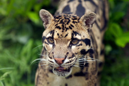 Clouded Leopard (by suecope)