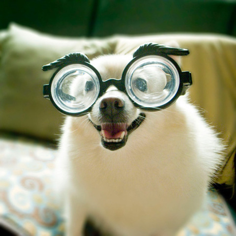 thingsondogs:  reading glasses?