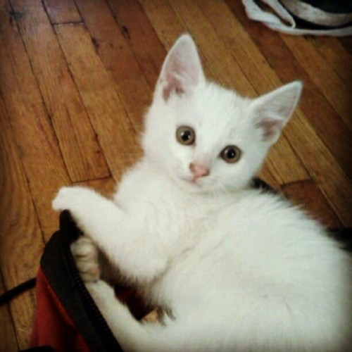 All I do is post cat pictures. #kitten #adorable #eyes #tools #toolbag #fiesty #playful (Taken with Instagram)