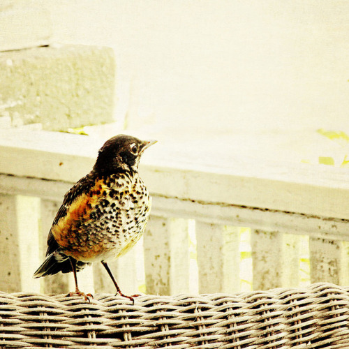 valscrapbook:  baby robin by pretty life photography on Flickr.