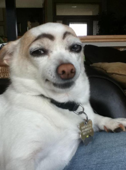 Dog with Eyebrows Looks Smug Eyebrows: essential on people, creepy on animals.