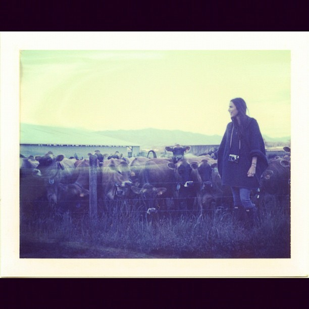 #polaroid / #cows / @margaretmast  (Taken with Instagram)