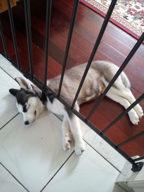Monday didn't start off well for this lil' Husky puppy.
