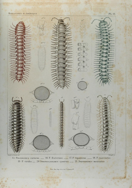 scientificillustration:  Essai d'une faune des Myriapodes du Mexique by BioDivLibrary on Flickr. Genève :J.G. Fick,1860..biodiversitylibrary.org/page/39884746