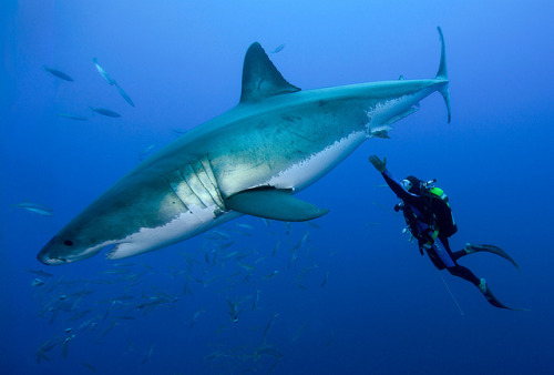 sharkpics:  great white shark