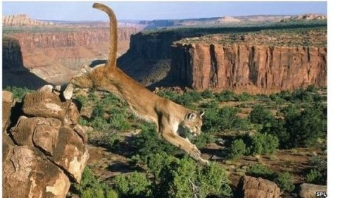 Cougars make a comeback in U.S. after a century of decline by Matt McGrat The American mountain lion or cougar is now re-populating parts of the US, scientists say. Their numbers had plummeted in the last 100 years because of hunting and a lack of prey. Writing in the Journal of Wildlife Management, researchers say the cougar is now spreading far outside their traditional western habitats. But they say the return of the big cats raises important questions about how humans can live with these predators.  Such has been the decline of the cougar in some parts of the United State that the US Fish and Wildlife service declared the eastern cougar extinct just last year. For decades mountain lions were seen as a threat to livestock and humans and many States paid a bounty to hunters for killing them. Their habitats were restricted to the areas around the Black Hills of Dakota. But in the 1960s and 70s the animals were reclassified as managed game species, so hunting was limited and numbers started to grow… (read more: BBC Nature)      (image: SPL)
