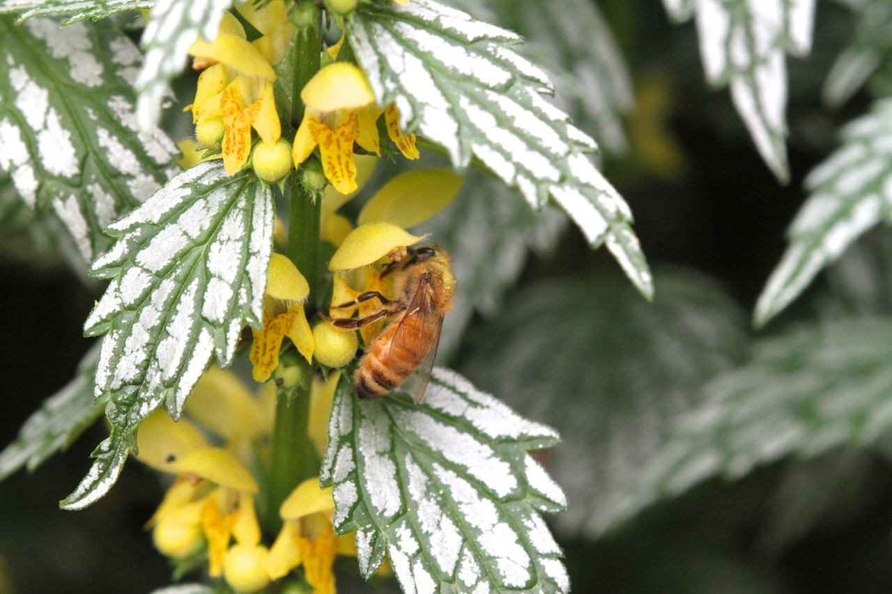 honey bee on lamium