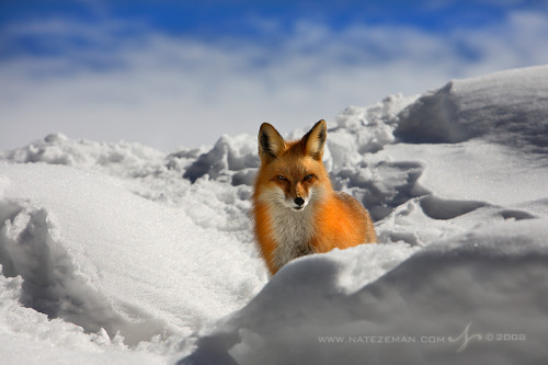 animalgazing:  Fox Stareby *Nate-Zeman