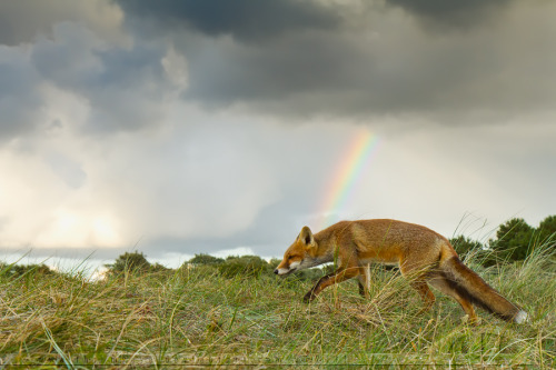 animalgazing:  Rainbow Foxby *thrumyeye