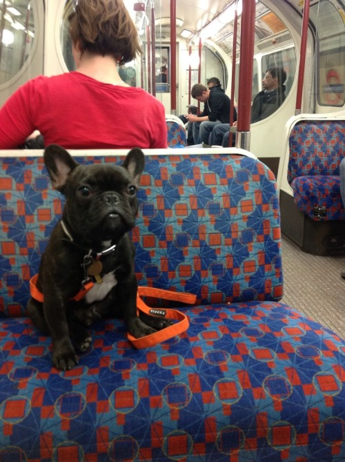 Oh, look at his face! @griffud the French Bulldog on the Bakerloo Line to Oxford Circus, London - June 2012