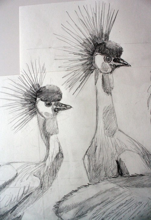 abigailmarguerite:  Crowned Cranes. Scientific illustrations. (2011). Drawn at the Field Museum; Chicago, IL.   (White paper, graphite, pen.)
