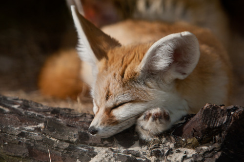 Sleepy Fennec fox 5 (by asbimages.co.uk)