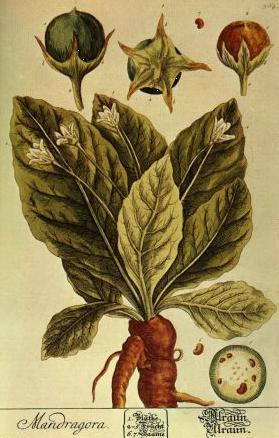 "Mandrake Mandragora officinarum    This herb has a long history in Old World magick and is a must in the witch's garden. In the Middle East, this plant, especially its ripe fruit, is still considered to be an aphrodisiac and fertility herb on account of its shape and the story in the bible: Leah (who later had the reputation as a real babymaker) used mandrake fruits her son had harvested in their field to ""buy"" the sexual services of the husband she shared with Rachel, who wanted the mandrakes to increase her own fertility (Genesis 30:14-16).  In contrast, mandrake roots are sometimes connected to Mars because they have allegedly been used as an instrument of war—in battlefield medicine to deaden the pain of wounds and cause sleep, for one.  Hannibal staged a fake retreat from an African enemy, leaving wine tainted with mandrake root behind. The enemy drank it and became stupefied, allowing Hannibal to return and kill them all. It was said to protect against possession by demons, but more likely a tincture of the root was simply given to people who were schizophrenic on the principle of like driving out like.  In Germany, people washed freshly harvested mandrake roots in wine and dressed them in red and white silk clothing.  The roots were then supposed to be able to answer questions about the future.  In Germany and Austria, this root was said to make spent money return to the owner (the ""female"" root was used in love charms), and it was valued enough (and obviously already uncommon enough) that children inherited the root from their parent.  In England, a dried mandrake root placed on the mantel was supposed to bring prosperity to the household and keep away evil. A root under the pillow helps engender prophetic dreams, and worn as a charm, it helps create invisibility. top Mandrake Medicine. John Baptiste Porta wrote that growing this plant near a grape vine will cause grapes harvested from the vine to have some of mandrake's ability to induce sleep, and Pliny claimed that simply smelling the leaves can cause sleepiness (I have not found this to be the case). Culpeper considered this plant to be governed by Mercury, but most others think of this as a Saturn herb (I agree).  During the Middle Ages, the root was used as an anesthetic when amputation or cautery was called for.  In the Renaissance, phony mandrake roots were crafted by growing byony roots in molds or just carving them, and I'll bet that this is when the myth about the shrieking root causing death or insanity when it was dug up arose—this would be a very handy belief if you were selling mandrake roots, because no one would be willing to dig them up themselves. The idea that digging up mandrake caused insanity was probably related to the fact that overdose with this plant induces horrific hallucinations that last for days (and are usually not remembered afterward), a great thirst that cannot be quenched, and the inability to focus or bear light, which can persist for months.  In the words of a Renaissance herbalist: ""thys herbe diverse wayes taken is very jepardus for a man and may kill hym if he eat it or drynk it out of measure and have no remedy from it."" They don't call it one of the baneful herbs for nothing. This plant is also known as Mandragora officinalis, Atropa mandragora, and Satan's apple. topAccording to Linnaeus, the great botanist of the 18th century, white and black mandrake are varieties of the same plant that have evolved for northern Europe (white) and southern Europe (black).  White mandrake flowers June-July and black mandrake in the fall.  The leaves of white mandrake can be one foot long and grow in a rosette (like leaf lettuce) rather than from a central stalk, like most plants.  The flowers are greenish white, white with purple, or white with blue and tend to have very short stalks. They turn into yellow fruits with an apple-like scent. The whole plant gets 4-10 in/10-25 cm tall.  The taproot fattens up and gets long quickly.  Even little plants growing in large plastic cups have nice little roots. Old plants can have roots up to 4 feet/1.2 m long, but most people can't wait that long to harvest them and dig up the roots in the autumn of the 2nd or 3rd year. The engraving gives a good idea of how the ""legs"" seem to grow out of the side of the root.  top How to grow:  I have had good luck germinating these seeds by soaking them in cold water in the fridge for two weeks.  Replace the water with new cold water daily to wash away the anti-germination chemicals that leach from the seed.  I use an old vitamin bottle for this.  At the end of two weeks, plant in Jiffy-7 pellets with kelp solution, as described in general growing tips.  Another method is to plant them as usual in a Jiffy-7 soaked in kelp solution and then put the Jiffy-7s seeds and all in the fridge for 4-6 weeks, covered lightly with the kind of plastic bag groceries come in.  The fridge should be on the cold side, 41 F, or put them in the bottom toward the back. Then take them out to germinate.  The idea is to imitate snowmelt.  I have gotten them to germinate both ways, but the cold water method uses less fridge room.  Or sow on Winter Solstice (see the Solstice Sowing page). top They are slow to come up (some sources advise waiting a year before tossing them), but they will. Make sure they stay moist but not sopping and do not put them in direct sunlight—more than any other plant I have grown, mandrakes dislike sun. They do not come up all at once, like the seeds of bedding plants do. These are seeds of wild plants, so their germination is staggered. Plant in full shade in rich soil. Add peat to the soil to make it more acidic.  If planting in a pot, make your own potting soil from 2 parts peat, 2 parts sand, and 1 part loam. Although the babies really seek out the sun, keep the plants in shade with perhaps morning sun, depending on how warm your climate is. Fertilize regularly.  A foliar spray of a solution of liquid kelp and fish meal is good, and a fertilizer for roots really makes a huge difference (I tried Rootone this year). They don't like being wet, but they will become dormant if they don't get enough water (or if it's too hot or too cold or not the right time of year—this is a very persnickety plant). Check the undersides of the leaves for aphids regularly, and use Safer Insecticidal Soap to get rid of them if they turn up.  top Once you get a mandrake going, you can propagate it by dividing its roots in the late autumn. It's winter hardy only in zones 8-11, the Deep South and the Northwest.  Farther north, try growing on the south side of the house against the wall and either put them in a cold frame in the winter or keep them in a pot and take them into the garage or basement for the winter (don't water while the plant is dormant). This plant needs plenty of pot length to make a good root. Otherwise, the root will twist all around upon itself and the plant will go dormant. You can plant several together in a large pot, so that they have plenty of room to grow down. The root can get over four feet long.  top The plant seems to sense when the root is getting near the bottom of the pot and quits growing; the leaves become weak and fall off. I had some in a very large pot, but they still stopped growing at a certain point. When I dug them up, I found that the end of the root was an extremely long thread that had obviously hit the bottom. Cramped roots become spirals. Planting in lengths of sewer pipes or garbage cans with holes in the bottom might be a way to remedy this. Planting in the ground is better if you have good soil, but it is very difficult to dig up the root without breaking it. Even turning the soil out of a pot all in one piece and gently pushing away the dirt resulted in a broken root or two. The plant probably uses this brittle root strategy to propagate itself, since pieces of root will make a new plant (this usually takes 3-4 months, and I have some roots in the ground that are a year old that are not dead but that haven't produced any top growth either). One possibility is to dig a good deep hole for your plant and fill it with a fine soil mix that will make digging up easier. Then water very heavily just before you dig up the root. This will allow it to come free more easily. I have done this with other plants and will try it with mandrake next season. top After one season of growth, you get a nice root about finger-length, a good size for work. Not all roots are forked, but most are. It is very nice to do the traditional unearthing: dig up the root using a piece of antler or horn at midnight, smudge it, and anoint it with a few drops of wine, then wrap it in silk. You can even rebury it then, or you can keep them fresh in the fridge wrapped in a slightly dampened paper towel inside an open baggie. Or you can put them in a jar of alcohol to preserve them, or dry them in a dehydrator if they are not too thick (thick roots will rot before they dry all the way through). Don't put them in the microwave to dry, like you can with flowers; they will get ruined. They lose a substantial amount of weight and volume being dried.  To get fruits, the plant has to be able to go through the winter without going dormant, a tough call in the US—possible in the Pacific Northwest or by using grow lights to keep them going through the winter in more hostile climes. Without flowers, you won't get fruits. If you do get fruits, let them ripen fully before harvesting to get the best seeds. top  You can also cut the roots and plant them to make more plants for the following year. In fall, cut the root into 1-2 inch long pieces. On each piece, cut the upward part straight across, and cut the lower part on an angle. Dip in rooting hormone and plant in soil in a sheltered spot or in a pot. Cover with sand. These will grow into new plants the following spring."