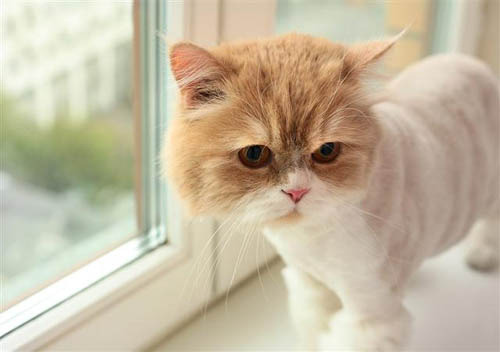 Persian Cat In The Window by PicturesOfCats on Flickr