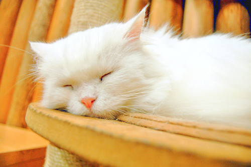"starryeyedbibliophile:  catp0rn:  Turkish Angora is Sleeping by maido2009 on Flickr  O .O ""Noah's brother has this kind of cat.""  ""Looks just like mein Lilo, does she not? You may call me Michael, by zhe vay."""
