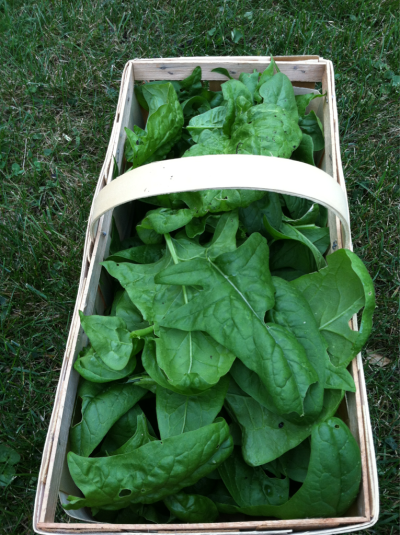 Last spinach harvest