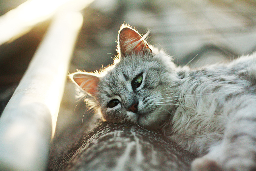 "photogenicfelines:  (via 500px / Photo ""c."" by bolshoe begemota)"