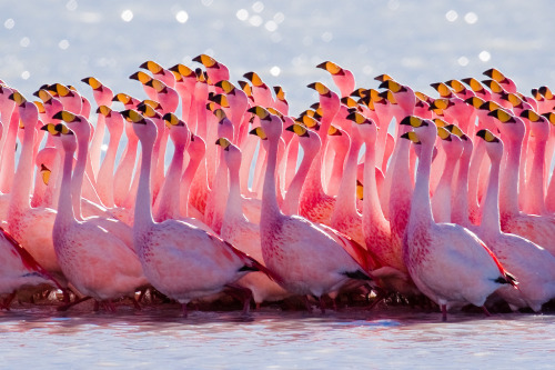 amariusque-admare:  Mating Ritual: James's Flamingo (by szeke)