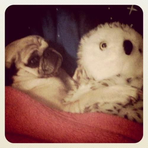 Soffie cuddling up in the morning! Please follow  @haileyjensen ! #pugsofinstagram #pugs #pug  (Taken with Instagram)