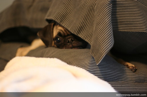 hellocute:  Submitted by Willow  Hiding pug!
