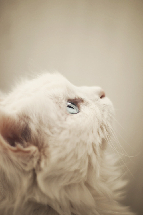 worldlyanimals:  Kitty Stare (alais-photography)