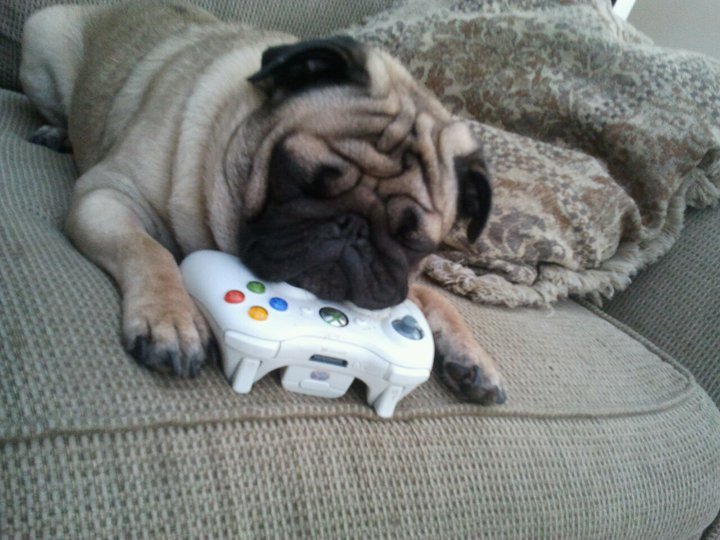 fortheloveofpug:  submitted by justin  Nope, can't play unless you play with me first.