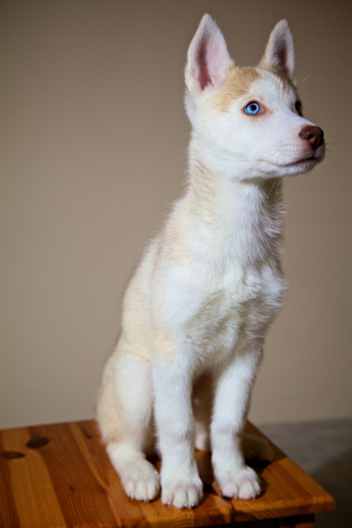 theanimalarchive:  Albino Wolf Dog