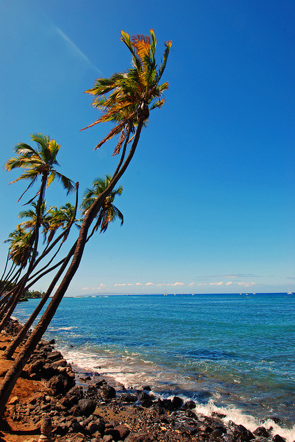Lahaina Palms by loren fender on Flickr.Reaching for the beach, even coconut trees can't resist the allure of Hawaii's seas.