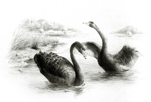 Black Swans (Cygnus atratus). Graphite on paper. 16.5 x 11.7 in. 29 May 2012.DESN1520 Natural History Illustration (Field Studies) Final Requirement