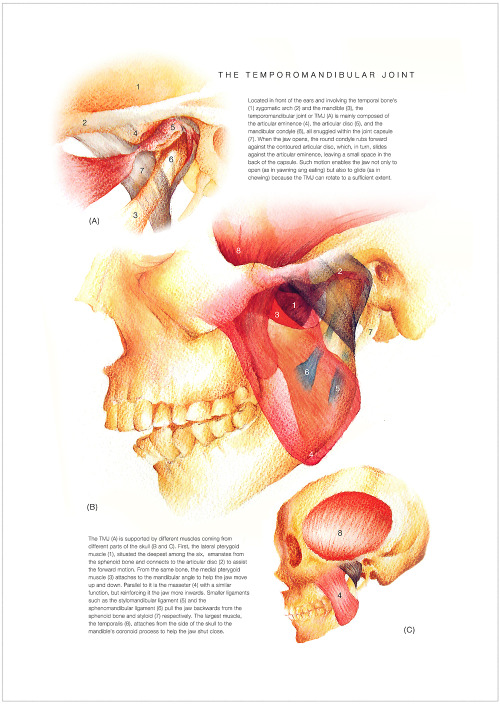 The Temporomandibular Joint. Watercolor, colored pencils, soft pastels, and markers on paper. 16.5 x 11.7 in. 31 May 2012.DESN2710 Scientific Illustration Final Requirement