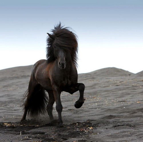 This is an Icelandic horse on a black beach. Photo taken by Ragnar Th. If the picture I recently posted was the album cover of an all horse rock band, then what kind of music would this stallion represent?