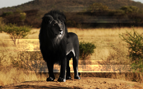 matthewtaylorrr:  Melanism is the opposite of albinism. Albinism is the lack of pigmentation and melanism is a dark pigment excess, that turns skin black. Anyway, this is beautiful.   Melanism - nice name?