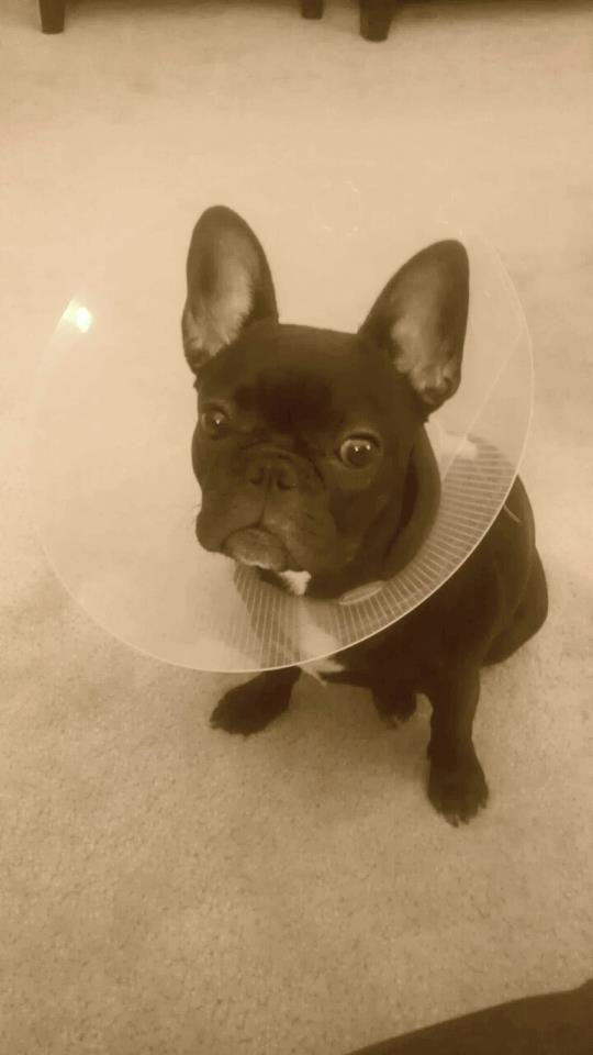 Lucy just got spayed, and isn't thrilled about the cone. by Amanda