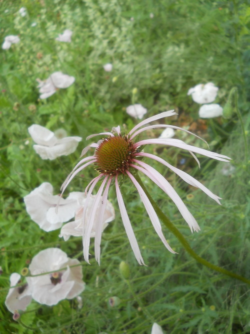 Echinacea pallida and white poppies at Galeazza For Garden Bloggers' Bloom Day, June 15, 2012 On the 15th of every month, garden bloggers from around the world join in, publishing photos of what's blooming in their gardens… The list grows practically by the minute - and the possibilities to learn about geography, climates, and new as well as classic plants is endless… What isn't crushed under the earthquake rubble is as beautiful as ever… despite the fact that I haven't watered much or weeded anything since May 20th - the day that the first earthquake brought much of the castle crumbling down.   http://www.maydreamsgardens.com/search/label/garden%20bloggers%20bloom%20day