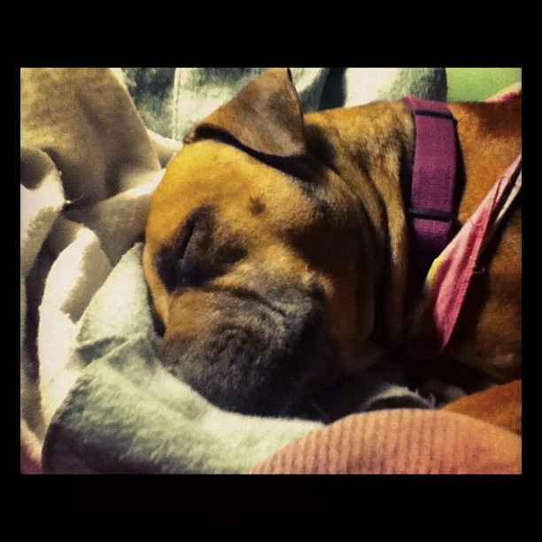 Sleeping Lucy #boxer  #pitbull #dog (Taken with Instagram)