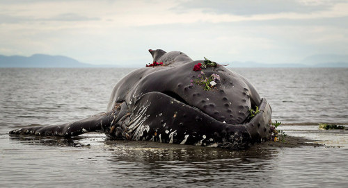People hold a makeshift funeral for a humpback whale that died on a beach in Canada. It died at low tide in White Rock, British Columbia, a few hours after beaching itself. It was found to be tangled in a fishing net and authorities are now trying to track down the owner of the net. After the whale died, local people held a makeshift funeral – gathering to pay their respects and laying flowers Photograph: Canadian Press/Rex Features