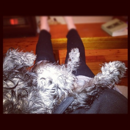 Legs up! #schnauzer #schnauzerpower (Taken with Instagram)