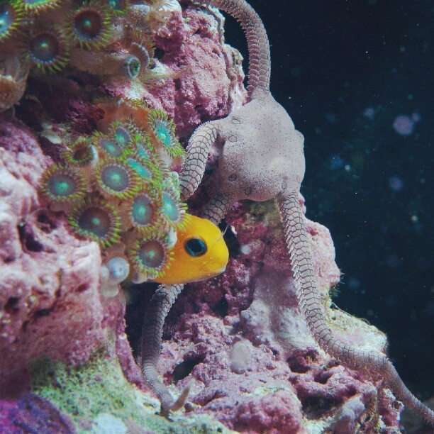 Midas Blenny and Serpent Star #ReefTank  (Taken with Instagram)