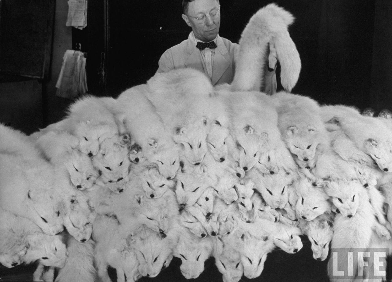Man examining large pile of white fox pelts in the Fur Dept. at the Hudson Bay Co. Store. 1937. http://images.google.com/hosted/life/a2b82c97592ec790.html