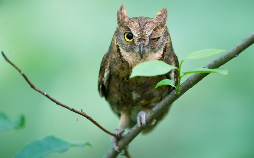 newsflick:  Wink-Wink: An owl tilts its head and gives a birdwatcher a cheeky wink in a forest on U-am-san Mountain in Cheongju City, South Korea Picture: Jungwoo Noh / Barcroft Media