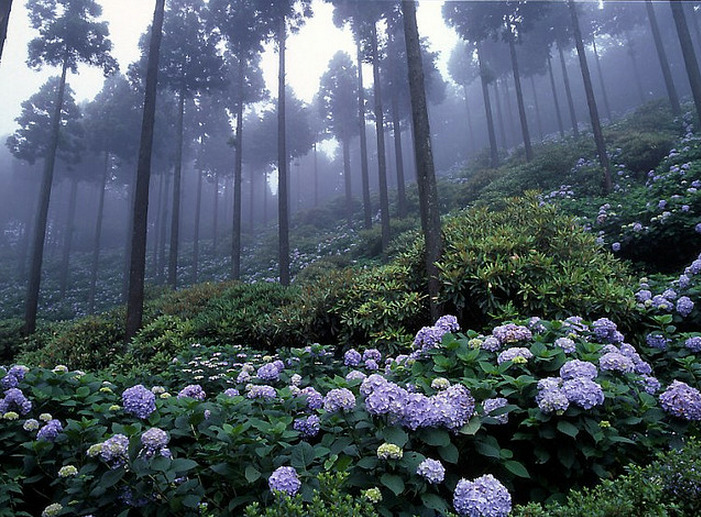 venula:  Misty Hydrangea  amazing! I wish I could fly a speeder bike through here. You know, that way I wouldn't trample the beauty. ^_^ #TreadLightly