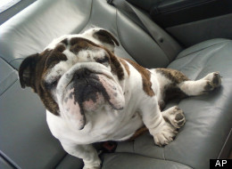 huffingtonpost:  Chumley is lucky too — he'd been missing for four months and would have been put to sleep this week if it weren't for his Colorado family contacting the animal control center in Kansas. But, the bulldog mix had a microchip implanted under his skin with information that ultimately helped the facility identify him and his family. It remains unclear how Chumley made it all the way from Colorado to Bonner Springs, Kansas or from where in Colorado he's originally from. But Bonner Springs is in eastern Kansas and even from the eastern Colorado state border, Chumley would have had to travel almost the entire length of the state — that's more than 400 miles. An English Bulldog From Colorado Found Hundreds Of Miles Away In Kansas  One of the many, many, many reasons why its to important to microchip your pet. Its also important to make sure rescues and vets MUST scan any found animal that comes through their doors to make sure they belong to someone, before they land in a shelter and possibly put down.