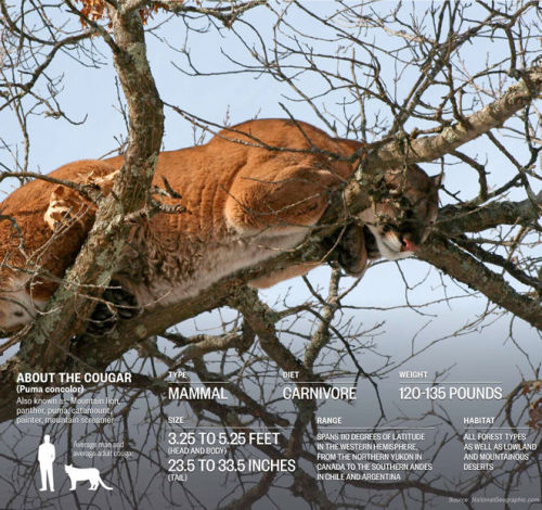thedailyfeed:  After nearly going extinct, cougars are back at it in the Midwest (no, not those cougars).