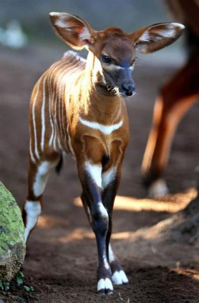 nikkeh91:  Bongo (antelope). Amazing animal ! :)) Learn more :)