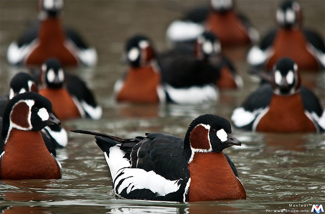 rhamphotheca:  animals-animals-animals: Red-breasted Goose (Branta ruficollis), Eurasia  (photo by Maxfear ®)